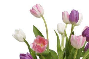 iStock_tulips